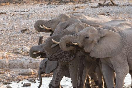 at waterhole: Grupo de elefantes africanos (Loxodonta) a beber a la charca, el Parque Nacional de Etosha, Namibia
