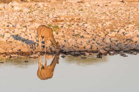 pozo de agua: Single Female Greater Kudu (Tragelaphus strepsiceros) standing next to waterhole, Etosha National Park, Namibia