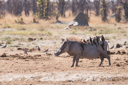 oxpecker: Warthog (Phacochoerus africanus) with multiple Oxpeckers (Buphagus) riding on back, Botswana