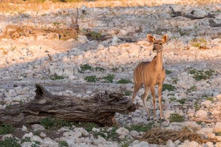 waterhole: Individual Femenino Gran kudu (Tragelaphus strepsiceros) de pie junto a charca, el Parque Nacional de Etosha, Namibia Foto de archivo