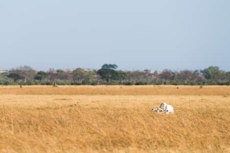 chobe national park: Elephant (Loxodonta africana) skull sitting in dry Savuti Marsh at Chobe National Park, Botswana, November Stock Photo