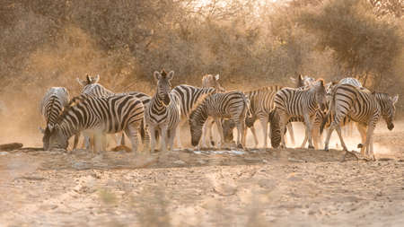 the water hole: Group of adult and young Plains Zebra (Equus quagga) at water hole, Namibia Stock Photo