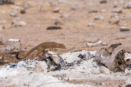 burnt wood: Slender Mongoose (Galerella sanguinea) stands over burnt wood and bones, Botswana Stock Photo