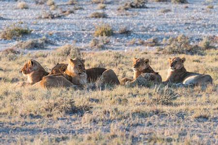 Group of Lions Panthera leo resting in early morning light, Etosha National Park, Namibia