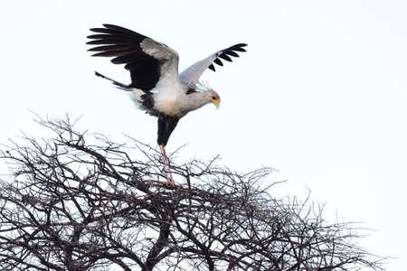 Secretary bird (Sagittarius serpentarius) landing on thorny tree, Namibia
