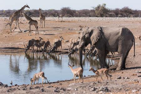 Multiple animals gathered at waterhole.  Elephant, Impala, giraffe, kudu.  Etosha National Park, Namibia