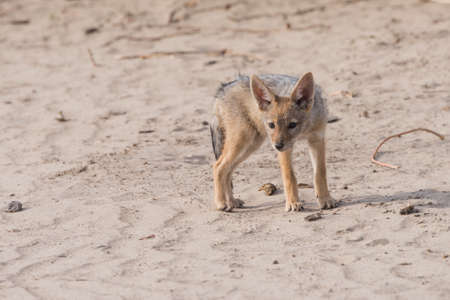 canis: Young Black-backed Jackal pup (Canis mesomelas) looks curiously at camera, Botswana, 2015