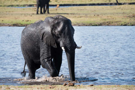 loxodonta: Large African Elephant (Loxodonta africana) crossing the Chobe River, Botswana Stock Photo