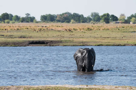 africana: Large African Elephant (Loxodonta africana) crossing the Chobe River, Botswana Stock Photo