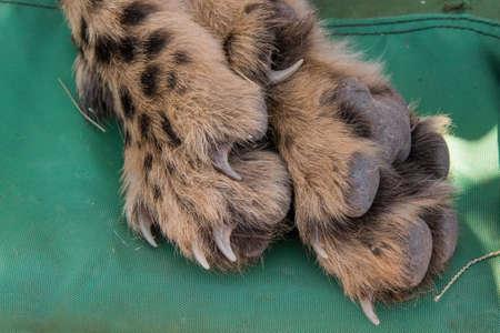 acinonyx: Closeup of Cheetah (acinonyx jubatus) foot, toes, claws and nails while sedated, Namibia