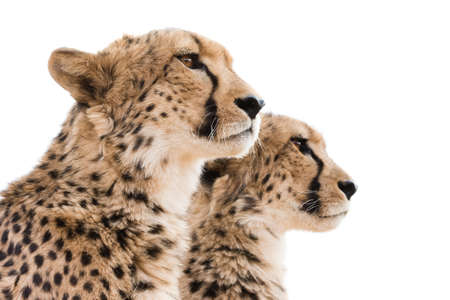 cheetahs: Portrait of two cheetahs against white background looking off camera