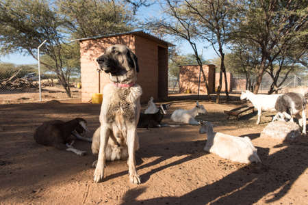 kangal: An Anatolian Shepard livestock guarding dog in corral with young dairy goats, Namibia.