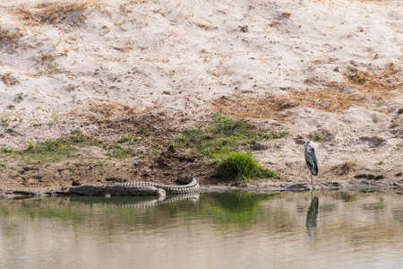 niloticus: Grey Heron (Ardea cinerea) and Nile Crocodile (Crocodylus niloticus) standnig next to water, Botswana