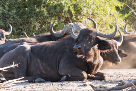 oxpecker: African buffalo (Syncerus caffer) group laying in shade, Botswana, 2015 Stock Photo