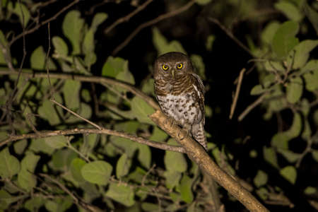 owlet: African Barred Owlet (Glaucidium capense) at night, Botswana, 2015