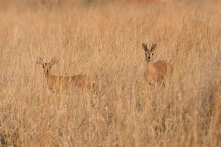 campestris: Monogomous Couple of Steenbok (Raphicerus campestris) standing in grass, Namibia