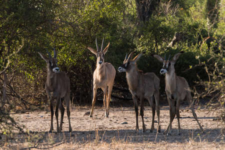 roan: Adult Roan Antelope (Hippotragus equinus) watches over young, Botswana, 2015 Stock Photo