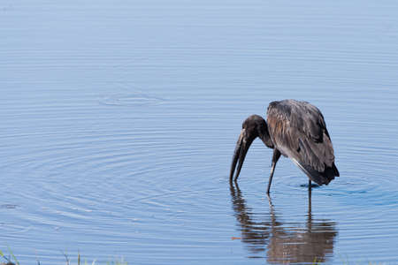 anastomus: African Openbill Stork (Anastomus lamelligerus) searching for food in a river, Botswana, 2015