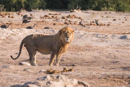 waterhole: Individual Le�n masculino (Panthera leo) en el pozo de agua en la madrugada, Botswana, 2015