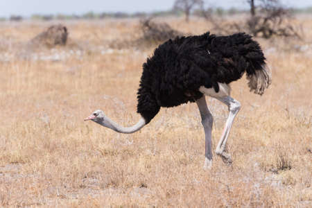 struthio camelus: Male Ostrich (Struthio camelus) in grassland, male with red shins to attract female mate, Etosha National Park, Namibia