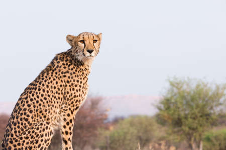 sitting on the ground: Cheetah (acinonyx jubatus) sitting on high ground at sunset, Namibia
