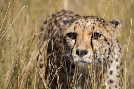 jubatus: Captive Cheetah (Acinonyx jubatus) close up standing in tall grasses, Namibia, May