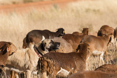 kangal: A Kangal livestock guarding dog roams in between a herd of Damara fat-tailed sheep, Namibia, June Stock Photo