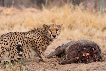 carcass: Cheetah (Acinonyx jubatus) eten wrattenzwijn (hacochoerus africanus) karkas, Namibië