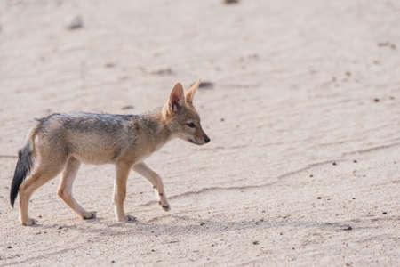 monogamous: Black-backed Jackal pup (Canis mesomelas) profile, Botswana, 2015