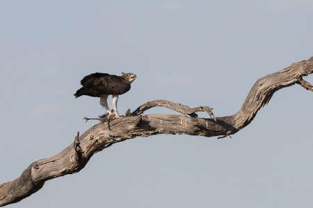 guinea fowl: Martial Eagle (Polemaetus bellicosus) with Guinea Fowl Kill in tree, Botswana, 2015 Stock Photo