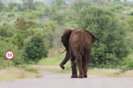 African Elephant (Loxodonta africana) walking on paved road, Kruger National Park, South Africa Imagens