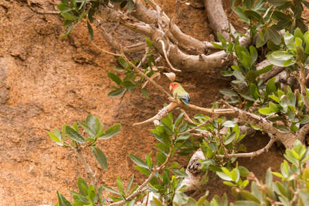 Rosy-faced lovebird (Agapornis roseicollis) perched high in tree in rocky area