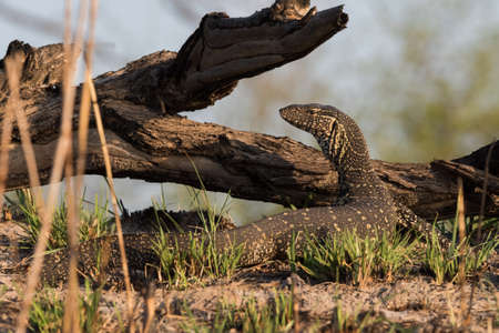 niloticus: Nile Monitor (Varanus niloticus) walking next to river, Namibia, 2015 Stock Photo
