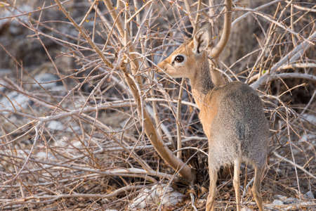 monogamous: Dik-dik (Madoqua kirkii) foraging amongst rocks in Etosha National Park, Namibia