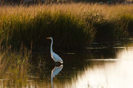 Great Egret (Ardea alba) wading in shallows, Queens, New York