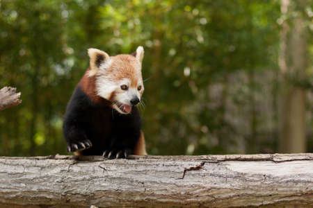 Red Panda (Ailurus fulgens) Portrait at zoo in the summer, USA