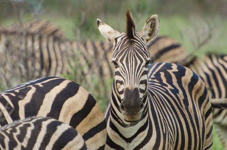 Adult Plains Zebra (Equus quagga), Kruger National Park, South Africa