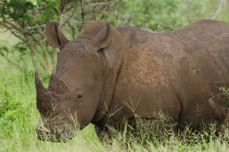 Single White Rhino (Ceratotherium simum) in grasslands, Kruger National Park, South Africa Stock Photo