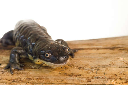 spot the difference: Captive Tiger Salamander (Ambystoma tigrinum) Portrait
