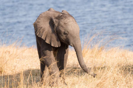 A small elephant (Loxodonta) calf be by the river Bwabwata National Park, Namibia Фото со стока