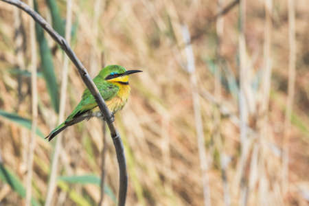 Little Bee-eater (Merops pusillus) perched on branch in front of reeds next to river Bwabwata National Park, Namibia