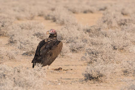 Lappet-faced vulture (Torgos tracheliotos) standing on ground in desert clearing Etosha National Park, Namibia Фото со стока