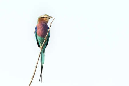 Lilac-breasted roller (Coracias caudatus) perched on twig white background Etosha National Park, Namibia Фото со стока