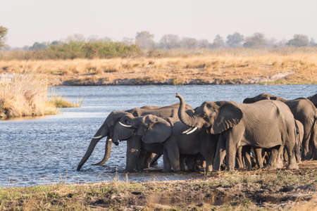 Large adult elephant (Loxodonta) stands guard in front of other elephants drinking in river Bwabwata National Park, Namibia Фото со стока