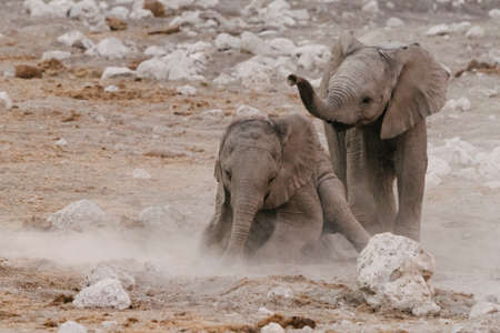 Small elephants (Loxodonta) playing in the dirt National Park, Namibia