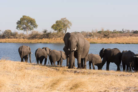 Large adult elephant (Loxodonta) stands guard in front of other elephants drinking in river Bwabwata National Park, Namibia Stock Photo