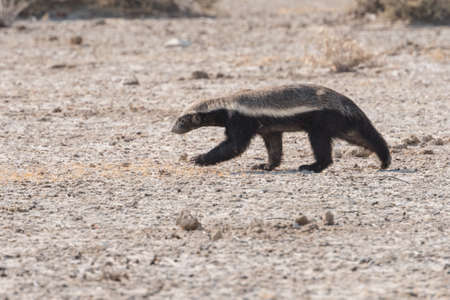 Honey Badger (Mellivora capensis) profile running in desert Etosha National Park, Namibia Фото со стока