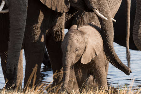 A small elephant (Loxodonta) calf being protected by larger family members in river Bwabwata National Park, Namibia