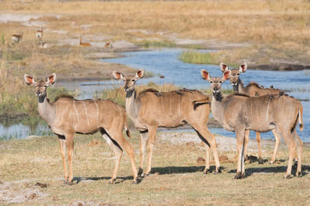 Group of adult female kudus standing by water with oxpeckers on back Bwabwata National Park, Namibia
