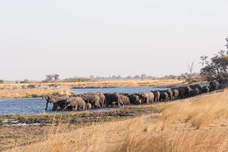 Large herd of elephants (Loxodonta) drink along river edge late in afternoon Bwabwata National Park, Namibia